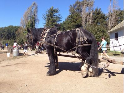 Draft horses for hire, Santa Cruz, Ca